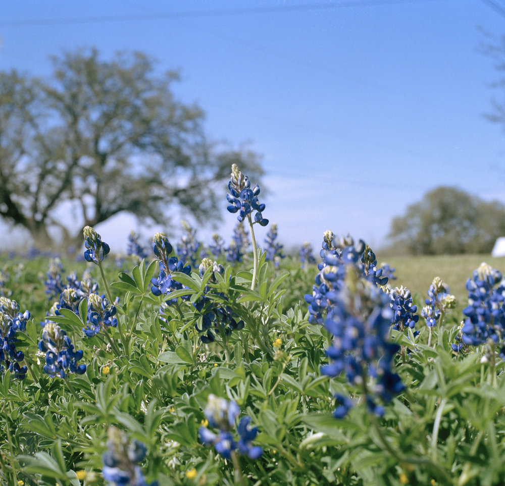 Bluebonnets in Mason copy.JPG