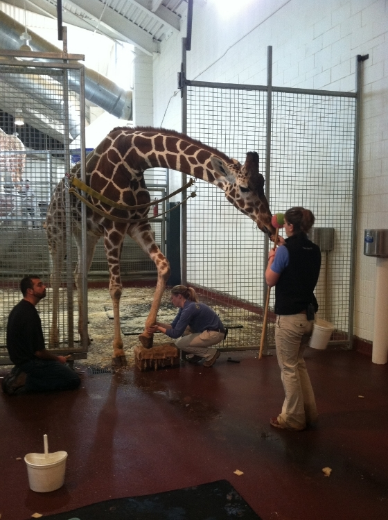 Giraffe hoofwork training at Cheyenne Mountain Zoo