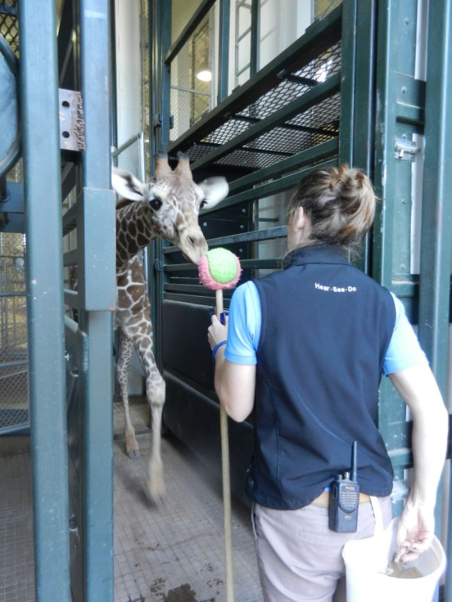 Giraffe target training at Cheyenne Mountain Zoo