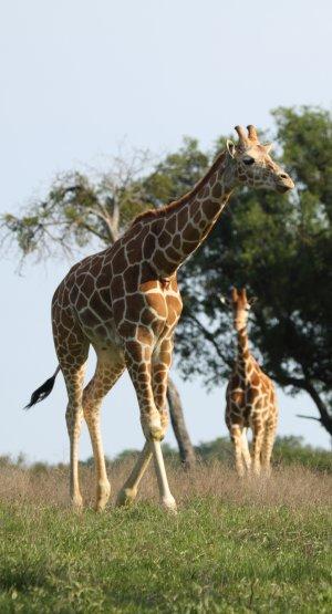 GiraffeSAFE.jpg