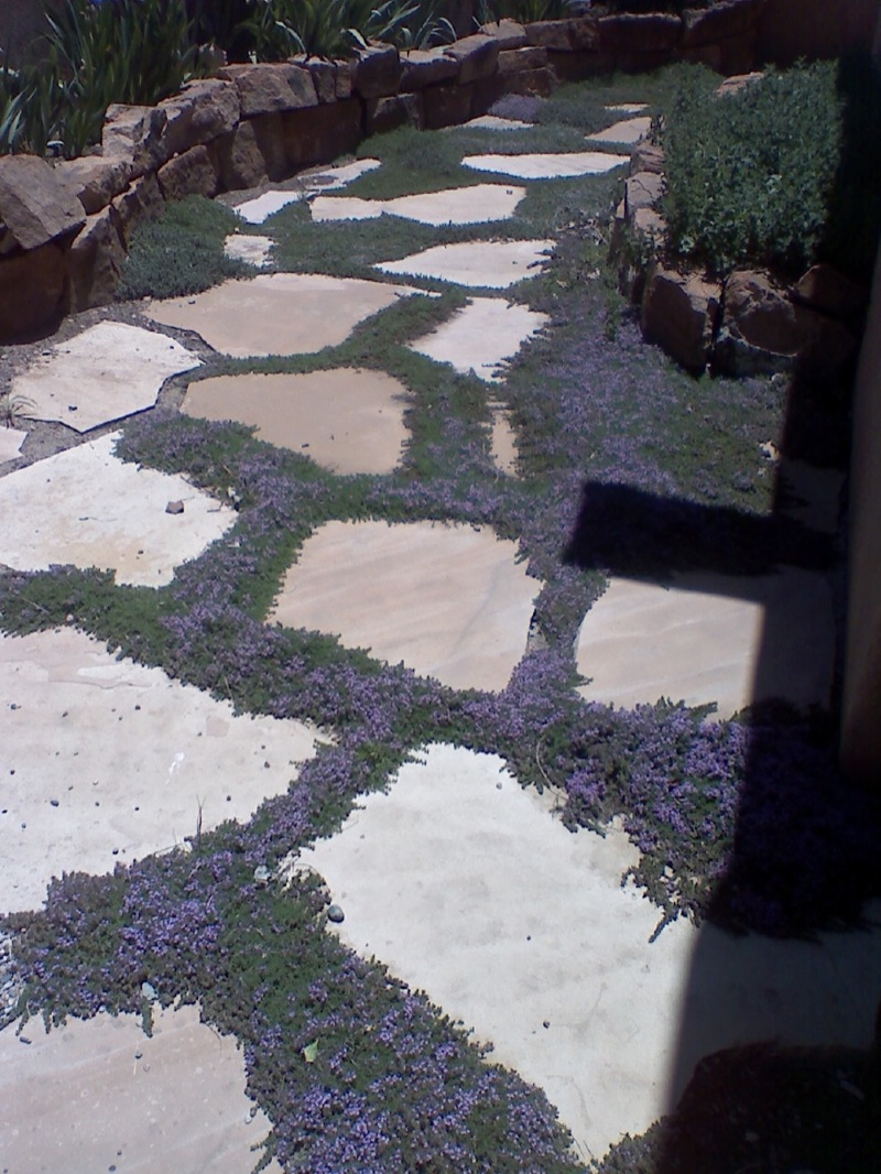 Flagstone set in sand with creeping thyme