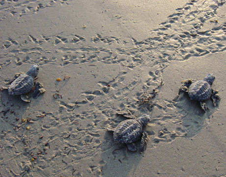 Costa Rica-ridley-sea-turtle.jpg