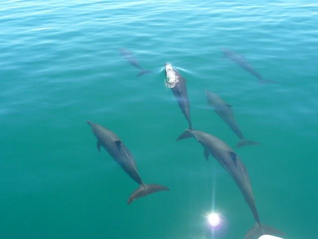 Dolphins in Golfo Dulce.JPG