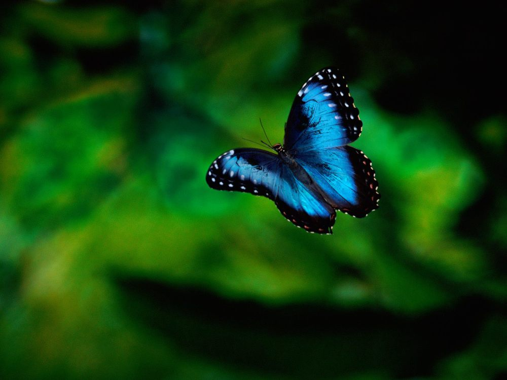 Morpho Butterfly in Flight, Costa Rica.jpg
