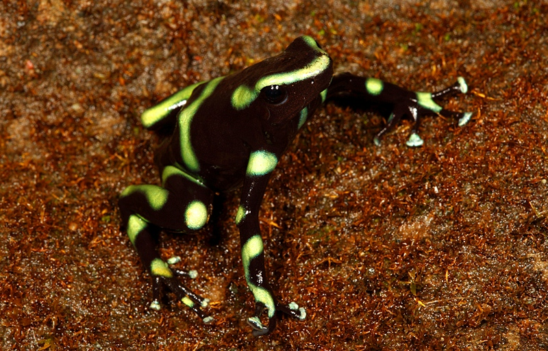 Dendrobates auratus, costa rica vacation homes.jpg