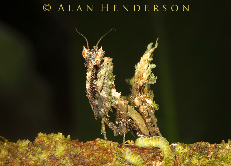 Moss-lichen mantis 2.jpg