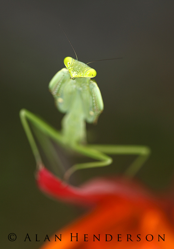 Mantis on heliconia.jpg
