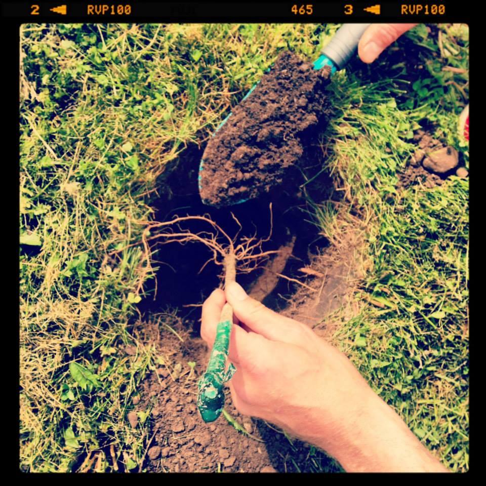 Esimene viinapuu poeb mulda