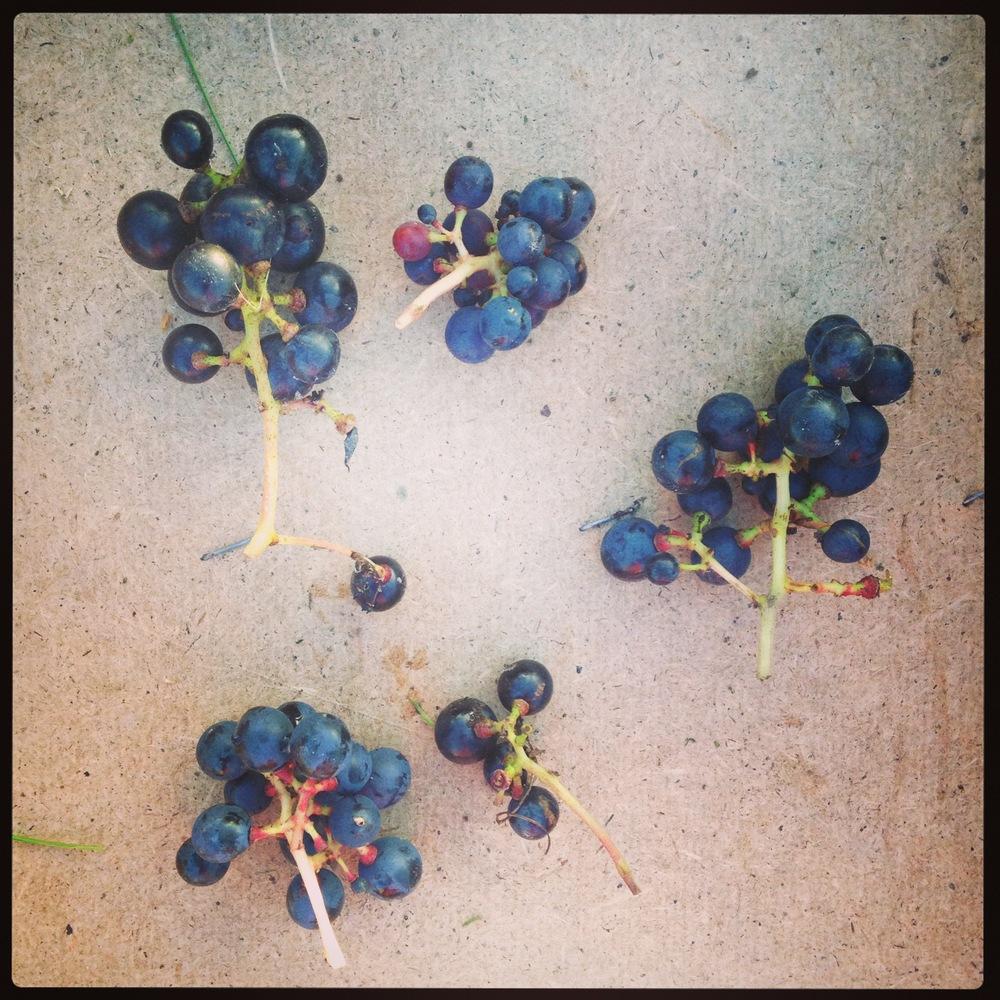 Veinitalu viinamarjad