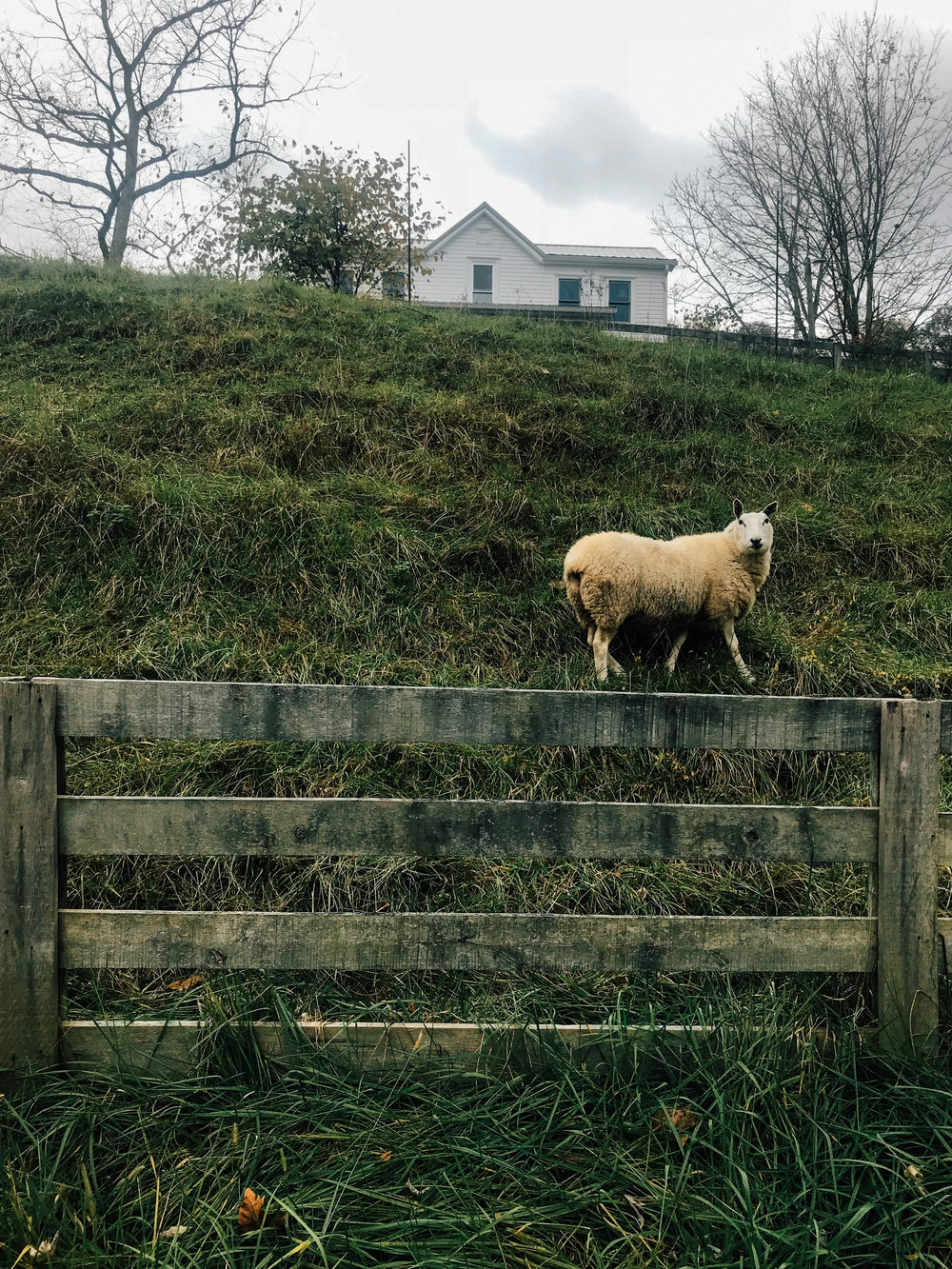 One of the Berrys' beloved sheep, grazing on the hillside in front of their homeplace.