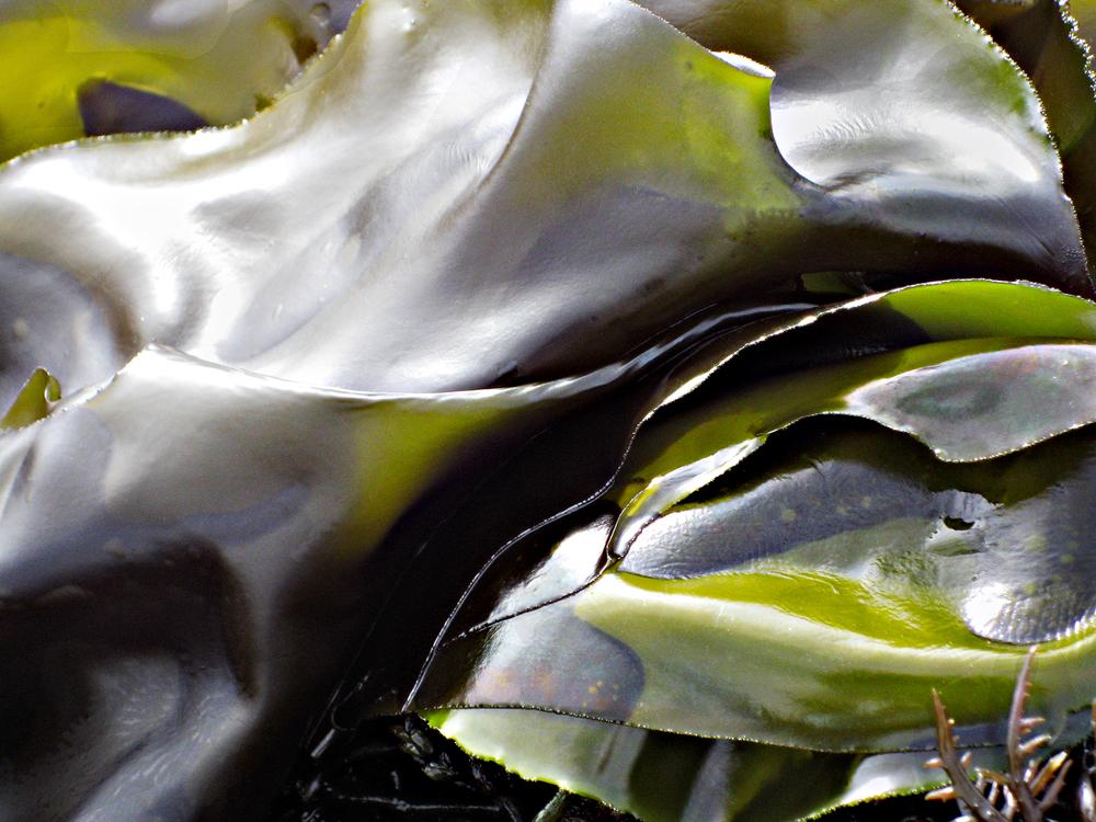 kelp #197