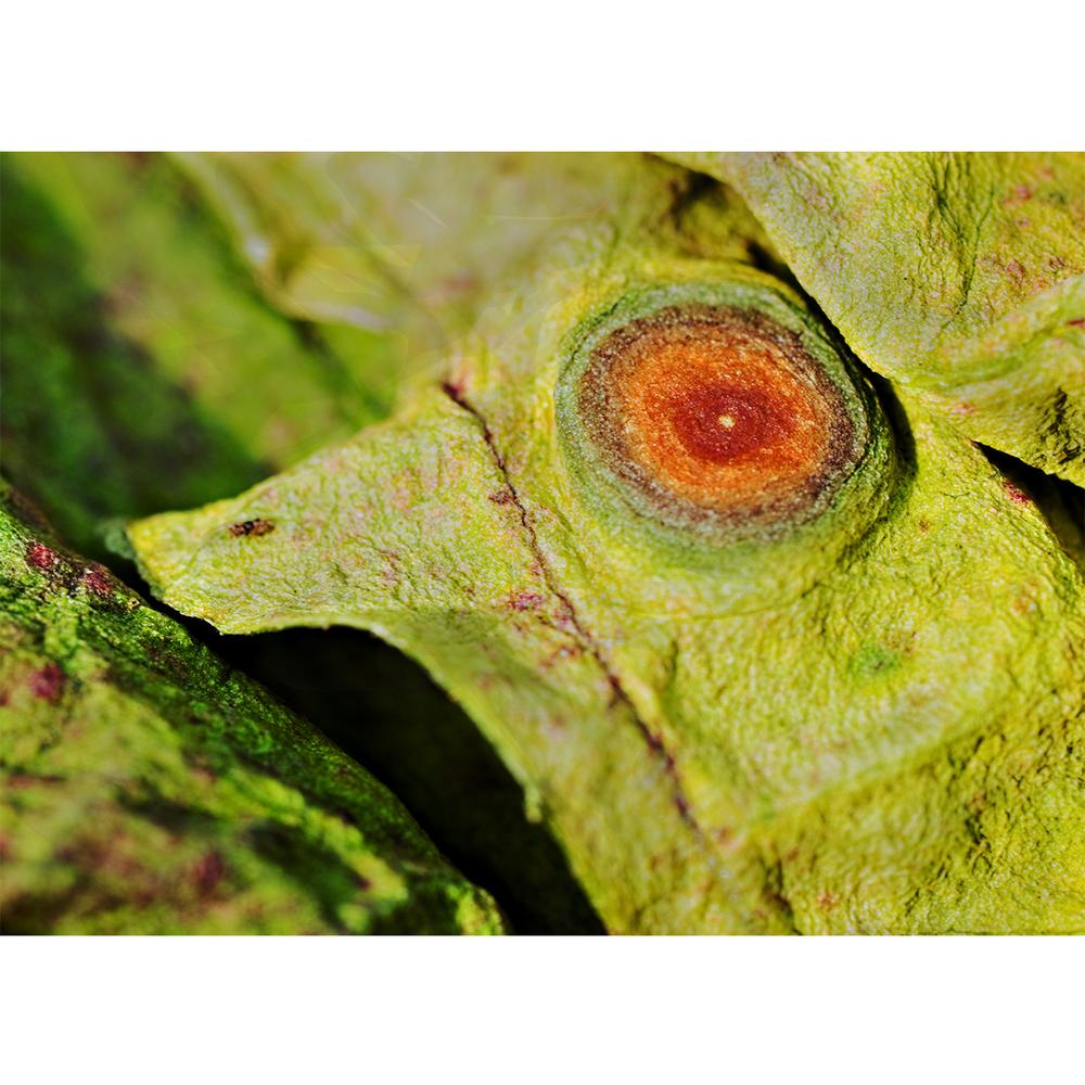 eye - rhubarb #33