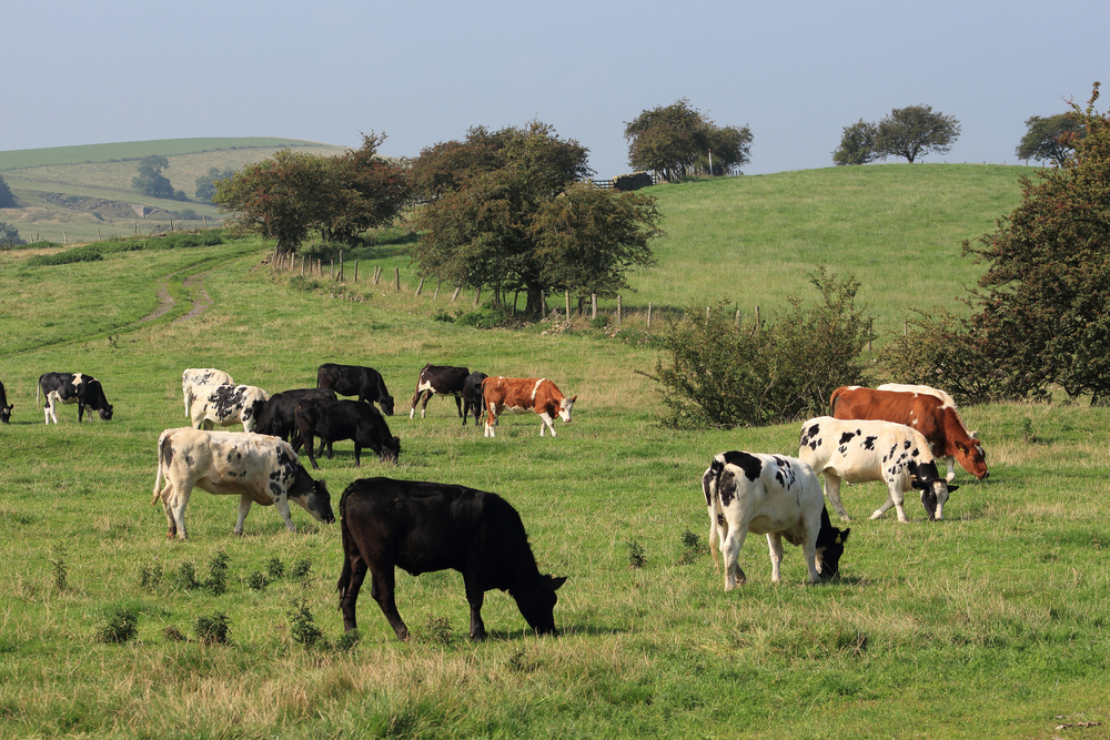 Cows by David Sykes via CC BY-NC-ND 2.0
