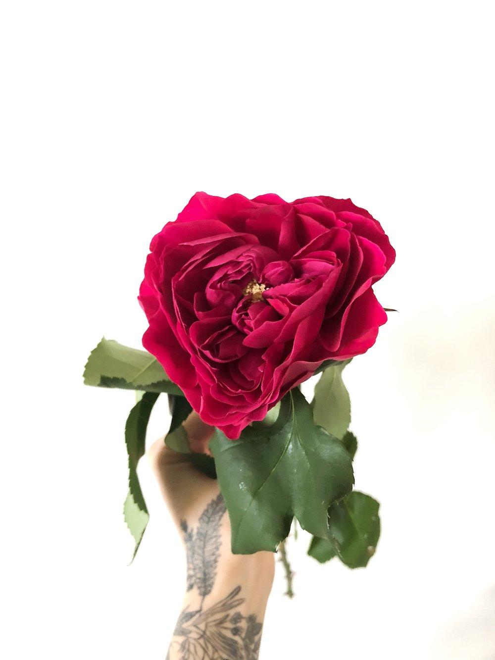 darcey garden rose