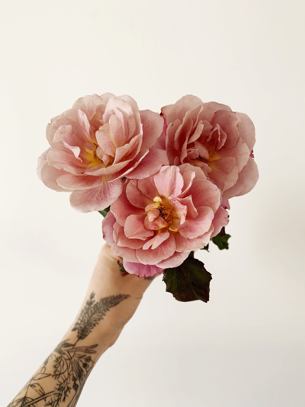 distant drum garden rose