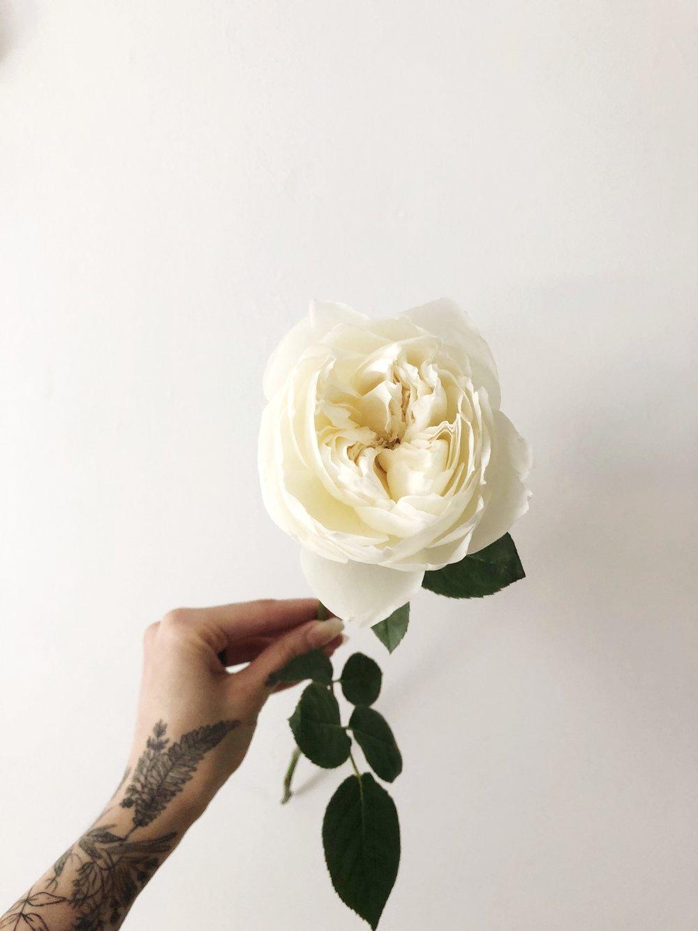 white cloud garden rose