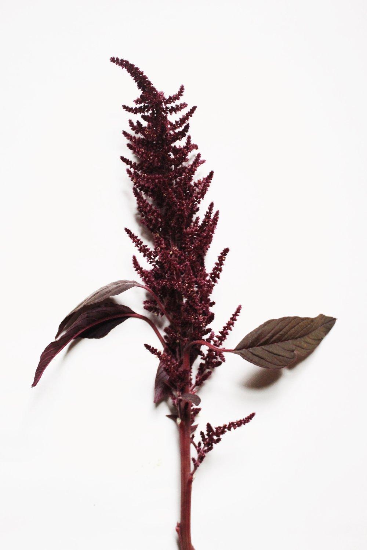 burgundy amaranth