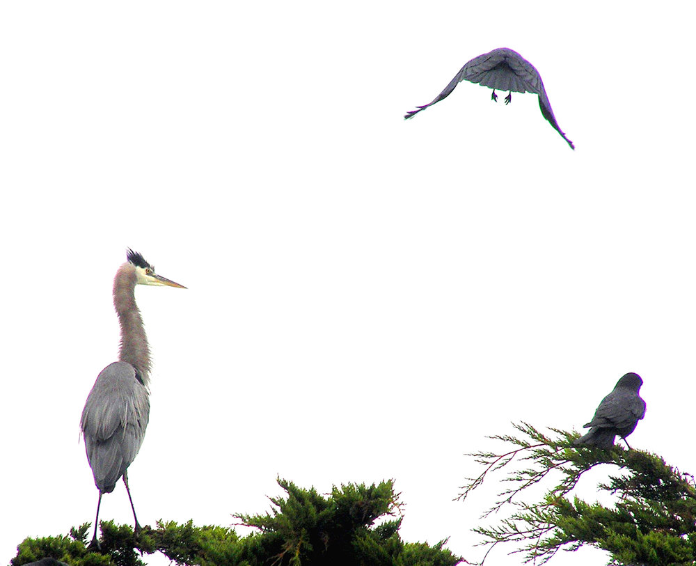 out my window-heron crows next door-©john grimes.jpg