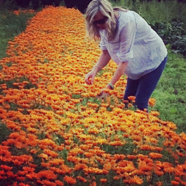 The 2015 Calendula harvest, all ready for picking with Julie Harris-Pasha