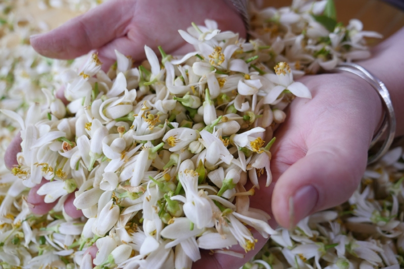 Fresh orange blossom picked in Cyprus ready for distillation to make Aromatic Water and Neroli Essential Oil
