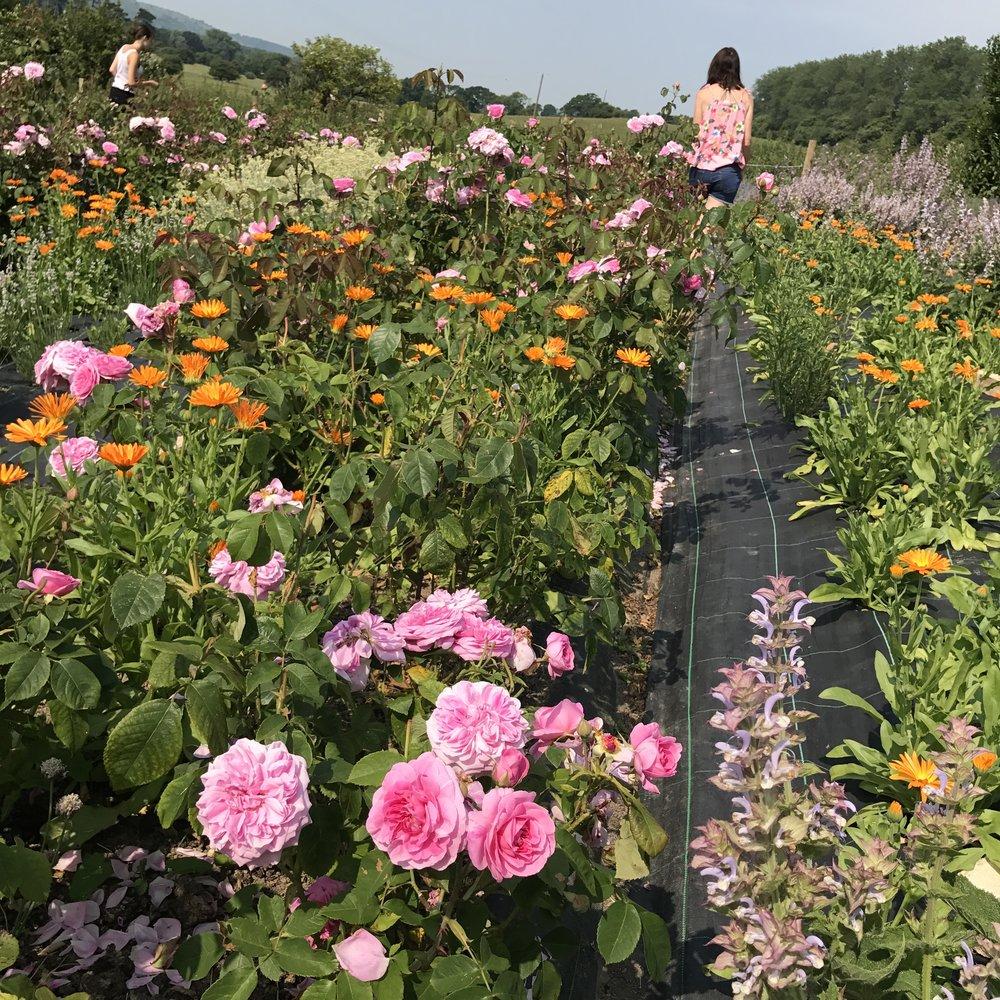 A.S.APOTHECARY Roses Garden
