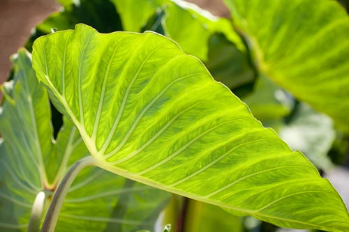 Taro-Leaves.jpg