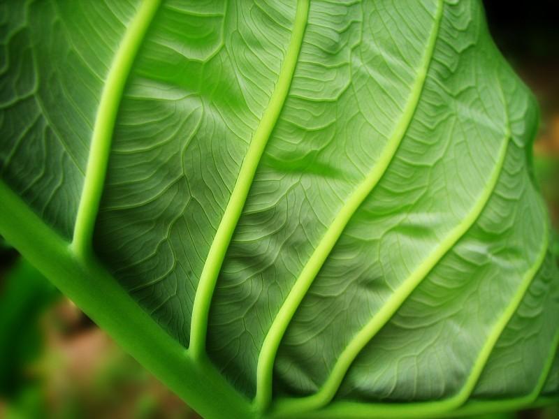 taro-leaf-macro.jpg