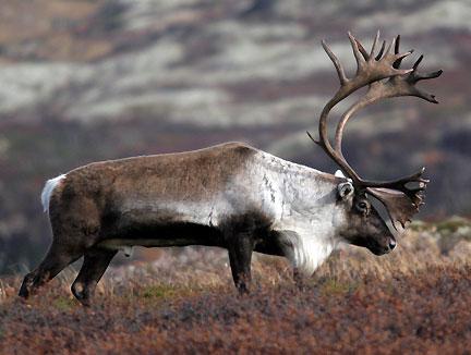 STORBUKK: De største dyrene i villreinflokken. Kraftig gevir med mange takker, ragg i halsen - og penis.