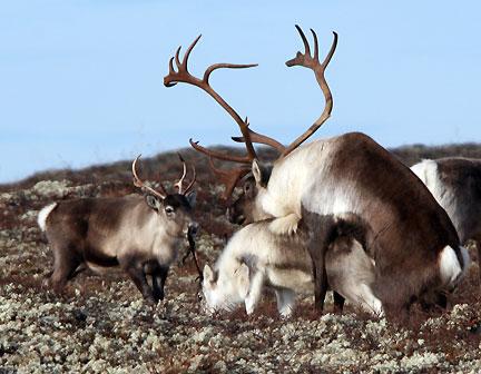 Facts about wild reindeer Villreinno alt om villrein