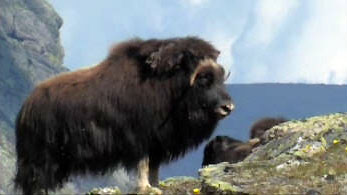 A musk ox panting in the summer heat. Watch a video at the  National veterinary Institute's  website
