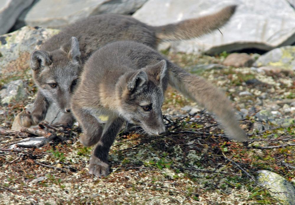 Så langt i år er det observert 36 fjellrevkull med minimum 241 valper. Det opplyser Norsk institutt for naturforskning (NINA) på sin nettside. Arkivfoto: Arild Landa