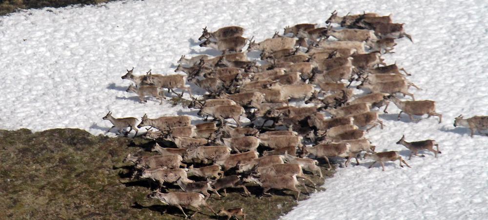 Årets kalvetelling i Nordfjella viser et resultat på 51,8 kalver per 100 simle/ungdyr. Illustrasjonsfoto: Arne Nyaas