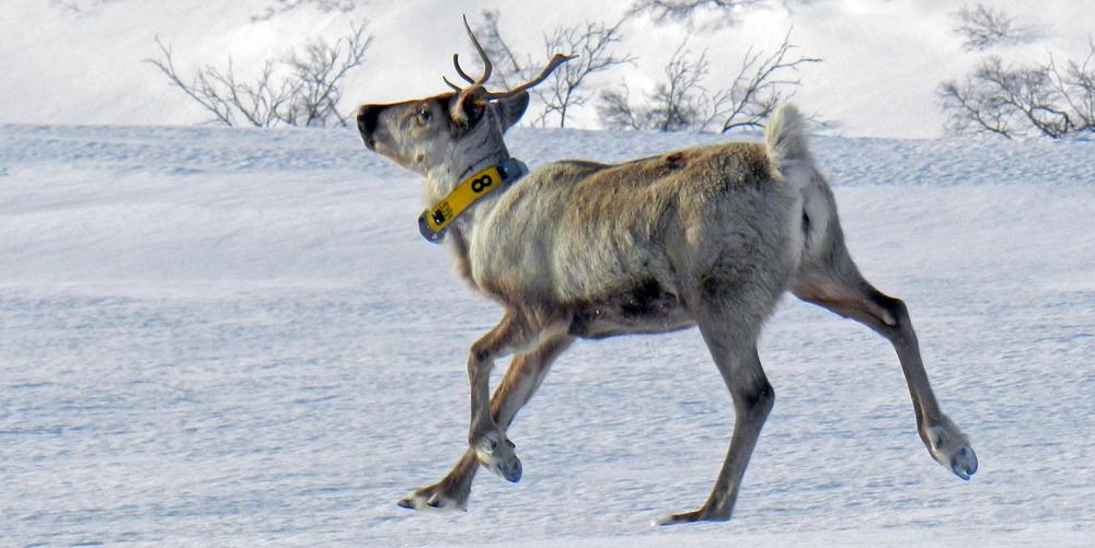 Dette er ei av simlene som ble radiomerket i Setesdal Ryfylke vinteren 2014. Klaven vises godt, og Fylkesmannen i Vest-Agder ber jegerne om IKKE å felle radiomerkede dyr. Foto: Roy Andersen, NINA