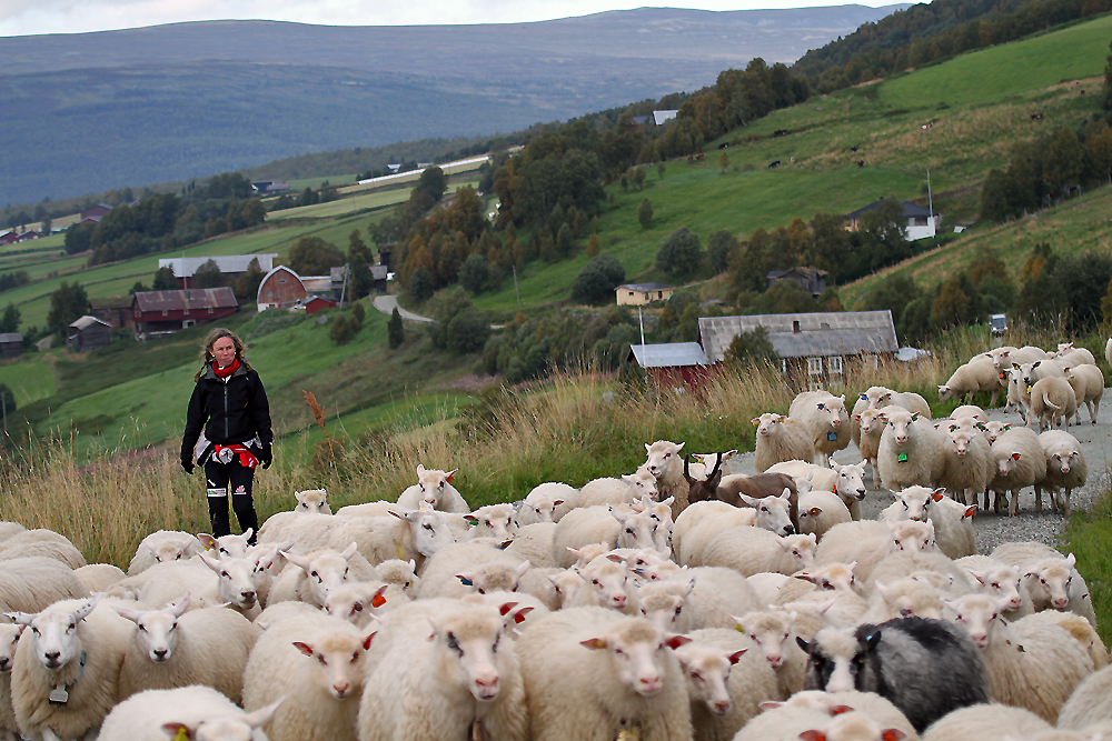 Turen hjem fra sommerbeitet nordvest i Dalsbygda til Os er lang for to- og firbeinte. Foto: Arne Nyaas