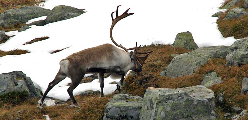 Av kvoten på 1200 dyr ble 522 felt under villreinjakta i Nordfjella i høst. Jaktresultatet (43,4 prosent felling) er det beste siden slutten av 1990-tallet. Foto: Aurland Fjellstyre