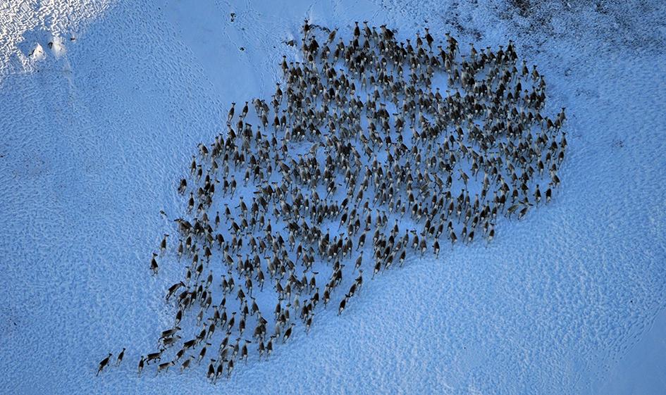 Hardangervidda er Norges desidert største villreinområde. Her ett av tellebildene fra 20. februar 2011. Foto: Randi Halland