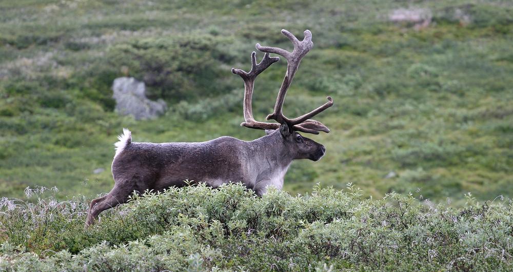 Denne bukken vandrer rundt i Norefjell-Reinsjøfjell. Nå skal den og de andre dyras arealbruk kartlegges nærmere. Foto: Anders Mossing