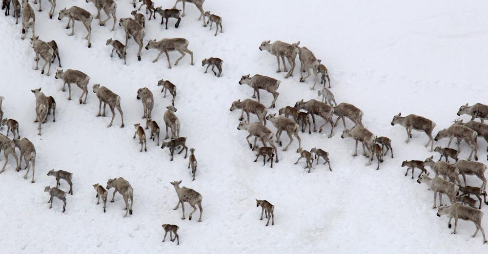 Snøen ligger fortsatt dyp mange steder, og reinen må virkelig leite etter «grønne spirer». Foto: Anders Mossing/NVS