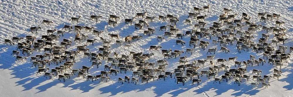 Utsnitt av en større villreinflokk på Hardangervidda. Foto: Randi Halland