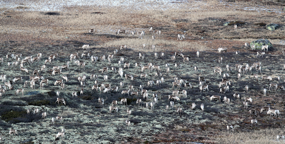Bestanden på Hardangervidda er omtrent på ønsket nivå. Nå ønsker man å forhindre ytterligere vekst. Illustrasjonsfoto: Peter. C. A. Köller
