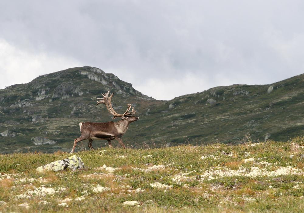 Vill tundrarein, Rangifer tarandus tarandus, i sørnorske fjell. Foto: Anders Mossing