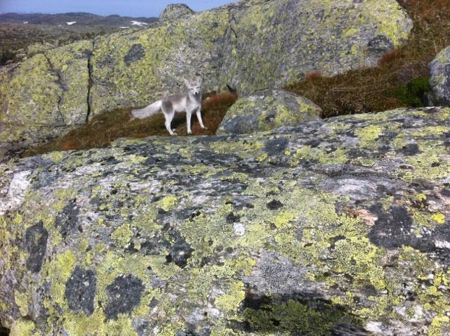 Denne fjellreven ble fotografert av Kai Rune Olsen som var på rypejakt i Njardarheim torsdag 10. september.
