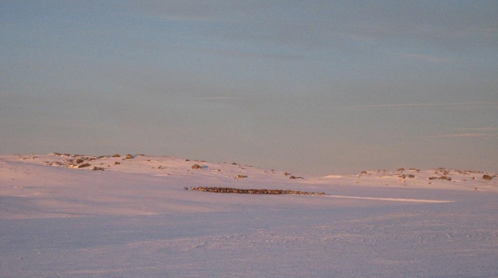 Villreinflokk på Skaupsjønuten. Foto: Morten Elgaaen/SNO