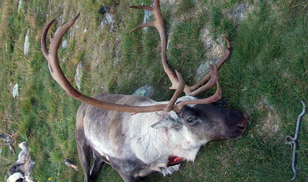 Bukken på bildet ble skutt øst på Hardangervidda, og veide 102 kg. Foto: Tom Ivar Stepien