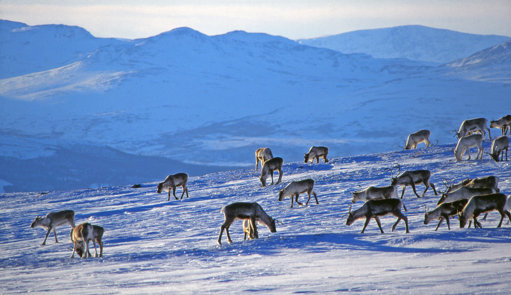 Vinteren er ei krevende tid for villreinen. Foto: Arne Nyaas