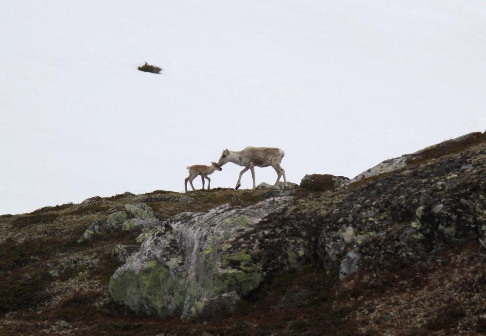 Tilveksten av kalv på Hardangervidda i 2015 var lavere enn på lenge, pga. den seine våren. Foto: Anders Mossing