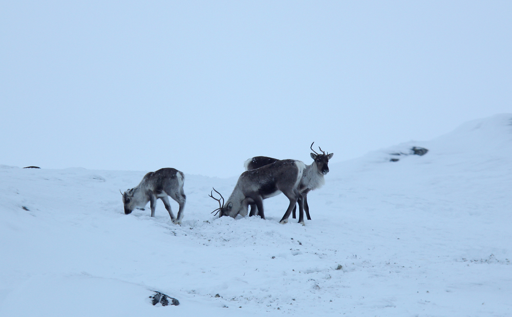 Villrein i Brattefjell-Vindeggen på vinterbeite nord i området. Foto: Anders Mossing