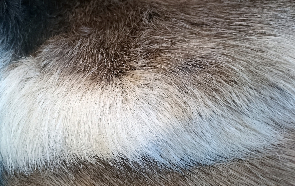 Villreinen har en ekstremt tykk og tett pels, som isolerer godt mot kulde. Foto: Anders Mossing