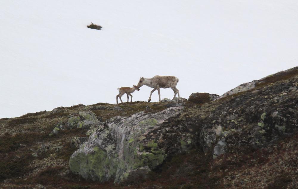 I løpet av de siste tiårene har reinens kalvingsområder på Hardangervidda endret seg mye. Foto: Anders Mossing