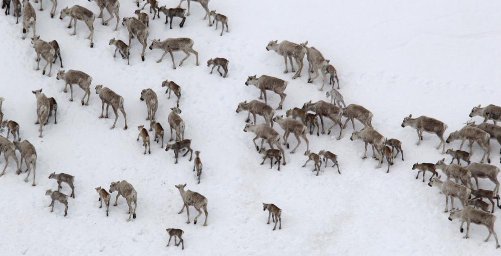 Ikke akkurat ideelle forhold for reinen i kalvingstida. Proteinrike vekster som spretter frem der snøen har smeltet er hva de trenger nå. Illustrasjonsfoto: Anders Mossing